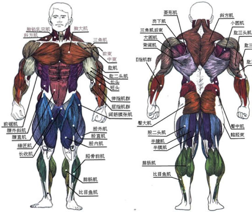 人体肌肉分布图_最后这里有一张人体肌肉详细分布图,建议大家要对自己身体有明确的认