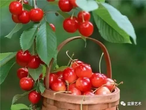 如何盆栽樱桃图片