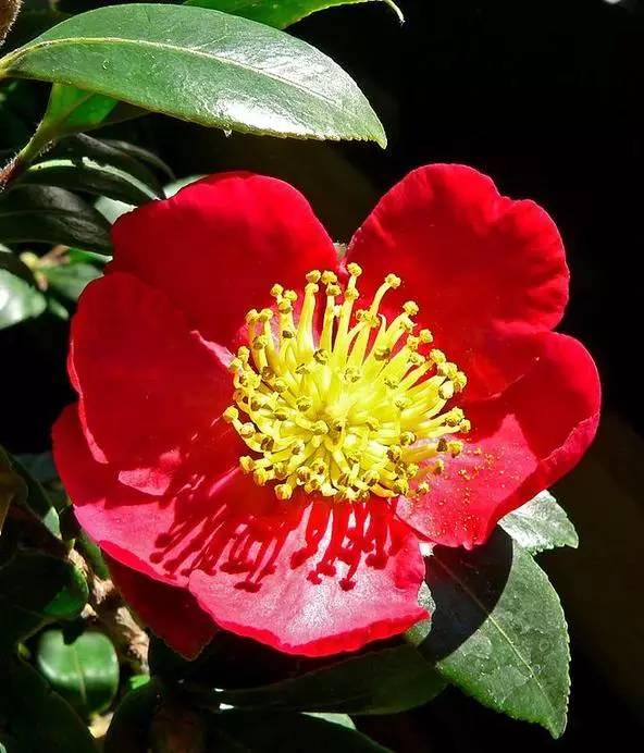 茶花竟然不是茶树的花 那茶树开花什么样
