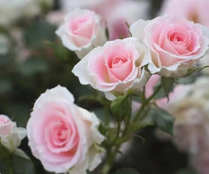 粉玫瑰花,11朵粉玫瑰花语是什么 一朵朵鲜花网
