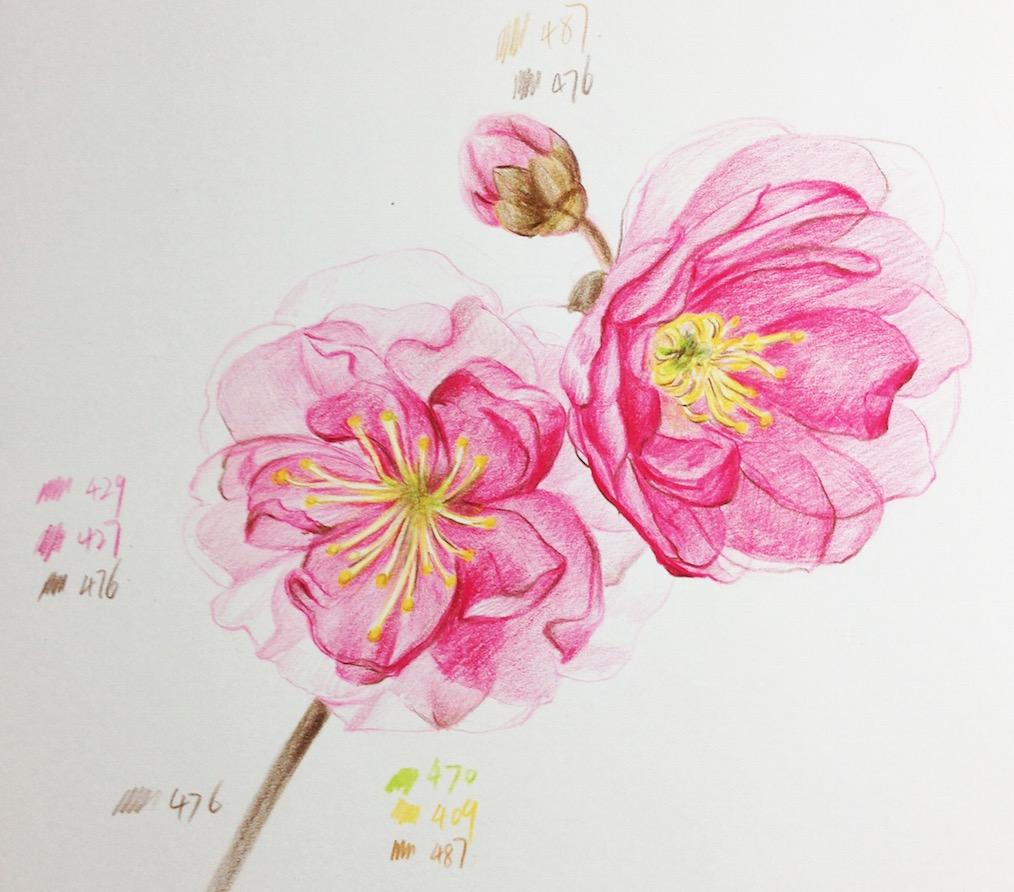 手把手教你怎么画彩铅樱花