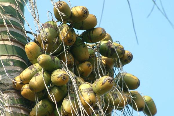 ↑图:槟榔的功效与作用图片