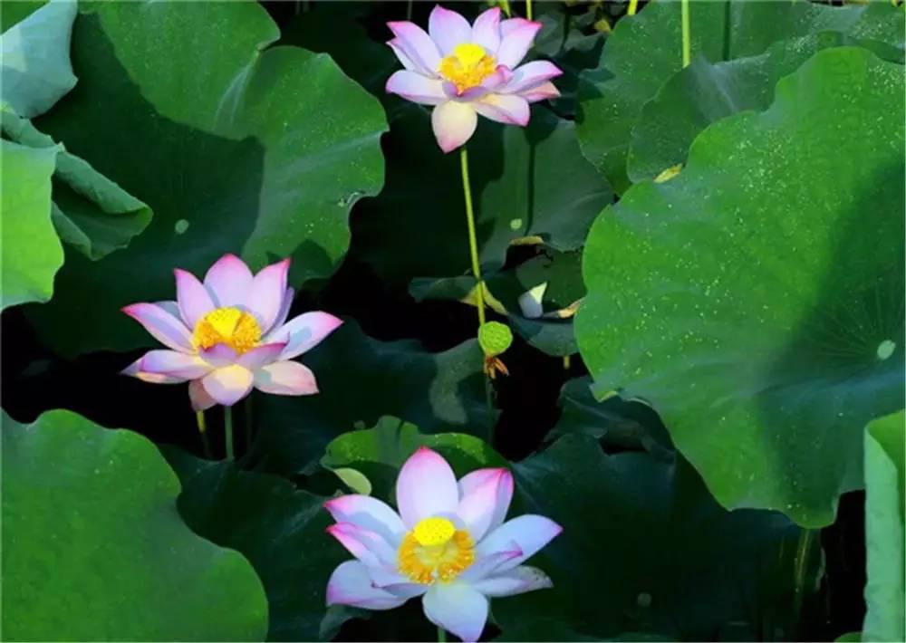 王昌龄《采莲曲》 水陆草木之花,可爱者甚繁.
