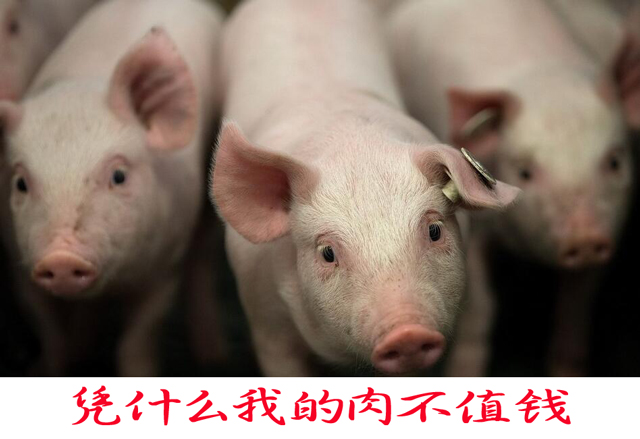 梦见猪吃肉是什么意思