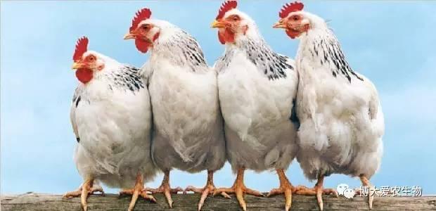 日白羽肉鸡、肉鸡苗、817毛鸡价格行情参考-2017.4.20 ┃全国肉鸡