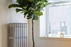 你养的琴叶榕为什么会死?图片