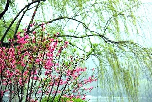 壁纸 垂柳 花 柳树 树 桌面 640_427
