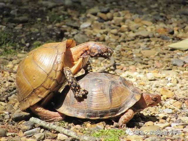 你就一定知道该怎么分辨乌龟的公母了图片