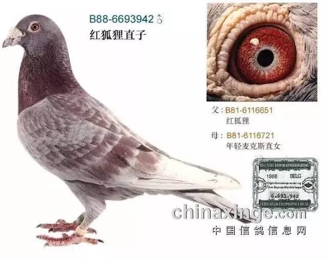 养殖鸽子创业怎样运输种鸽