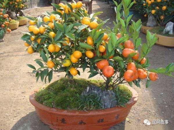 一盆天价橘树 花店里的一盆花, 却卖出了个天价