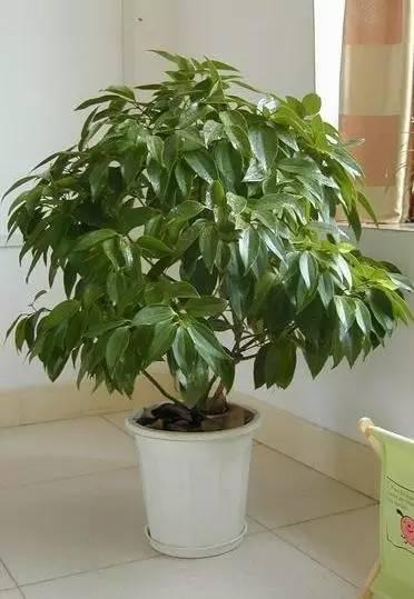一个月浇一次水的大型室内盆栽,适合懒人养护