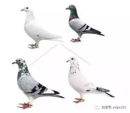 ,如何繁育异色鸽子漂亮羽色的鸽子图片