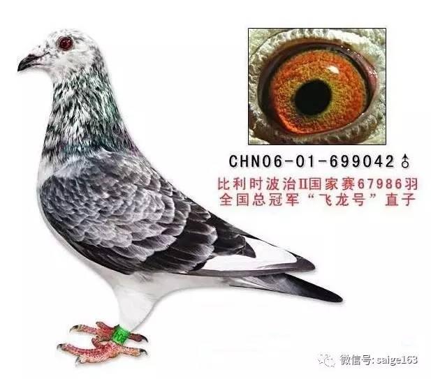 深色麒麟花-最全信鸽种鸽羽色配对,如何繁育异色鸽子漂亮羽色的鸽子图片