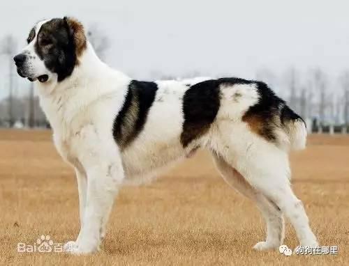 世界最昂贵的狗狗前十名