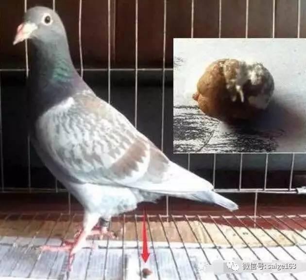 鸟类鸽动物鸟鸽子630_576蝴蝶泉金桥图片