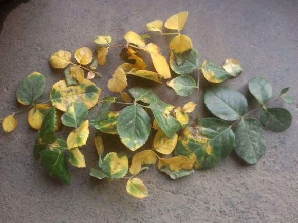 月季叶子为啥老发黄?原因和解决方法都在这 - 满园春色 - 满园春色