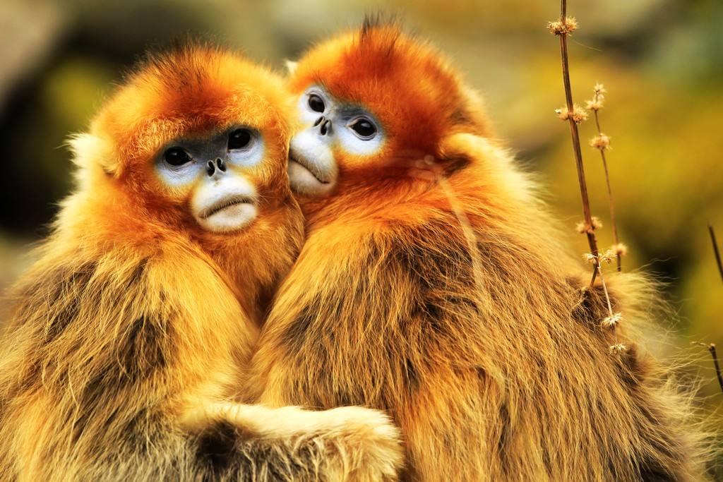 金丝猴子是什么颜色_好啦,等到天气热了,相约去金丝峡寻觅小猴子们的踪影去吧