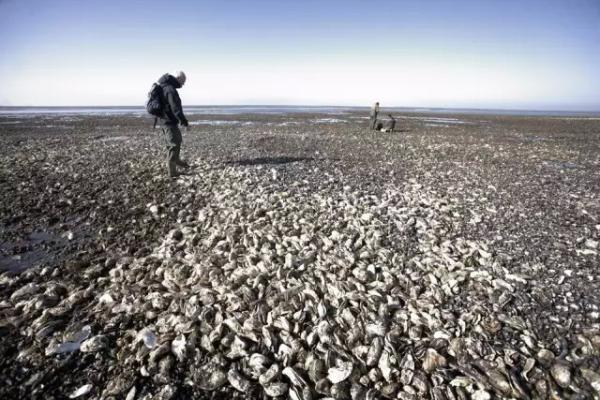 刘强东亲自指挥 京东生鲜正在评估引进丹麦生蚝的照片 - 1