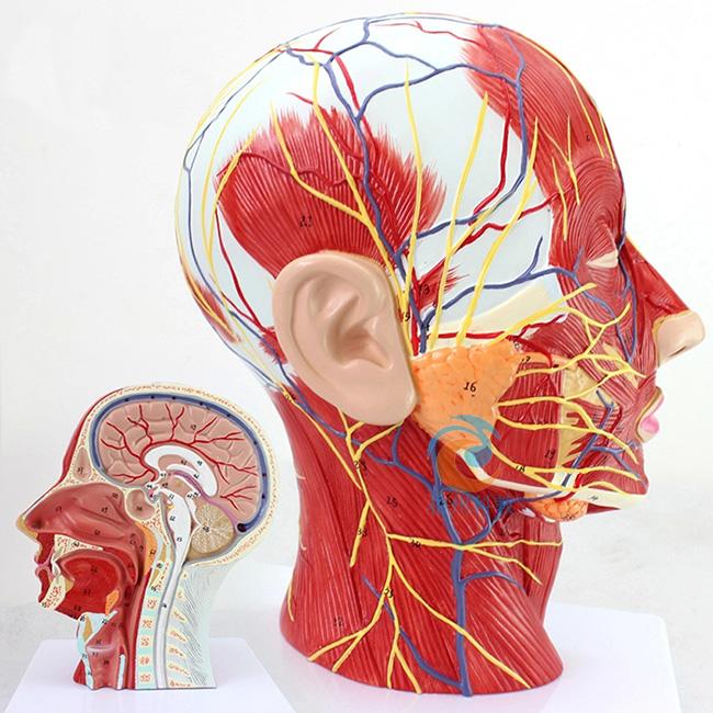 肌肉_头部浅表神经血管肌肉模型-上海宸博