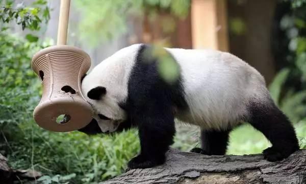 狂砸5100万建造宫殿,等待16年,荷兰人终于把熊猫抱回家了