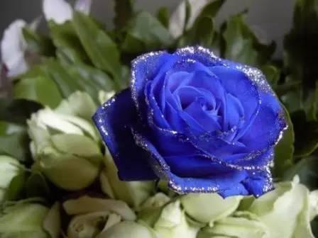 黑玫瑰和蓝玫瑰的故事图片
