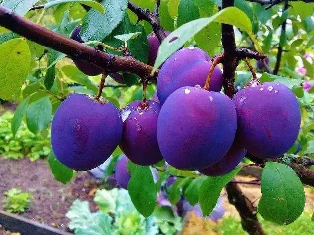 苹果树栽培周年管理历