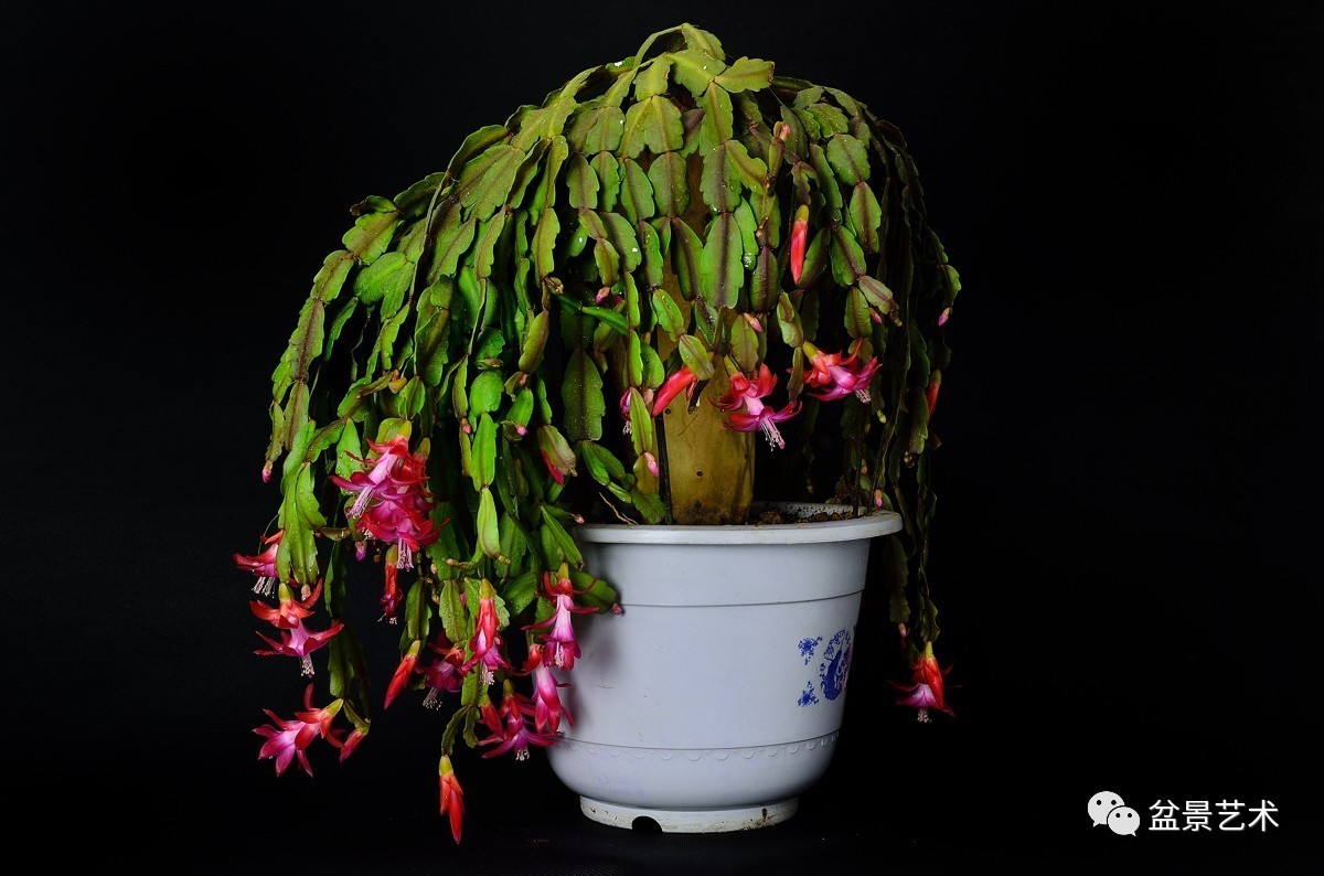 家里养了蟹爪兰,从朋友那弄了个三棱箭,想把两个植物嫁接在一起,怎么嫁接才好呢?