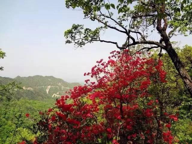 五月天堂寨,杜鹃花盛开,还你一个姹紫嫣红的春天!
