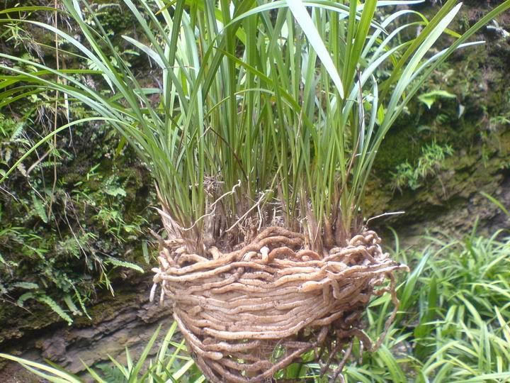 怎样养好下山兰_下山兰的根部,一般多曲折,向四周水平横向生长,断根较多;家里盆栽养