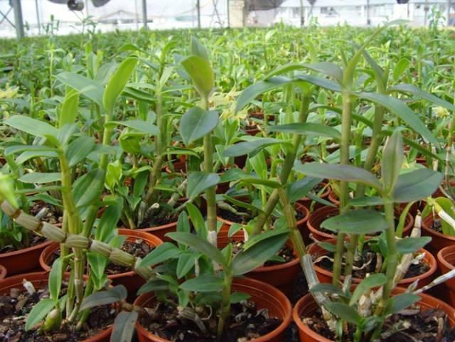 铁皮石斛盆栽种植方法 种植 石斛种植 中国铁皮石斛图片