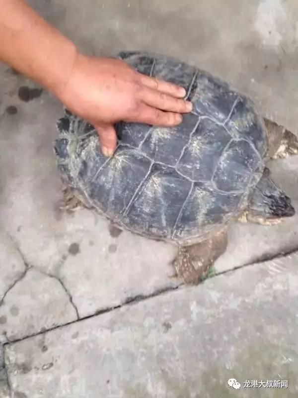 民抓获 野生大乌龟 重20多斤图片