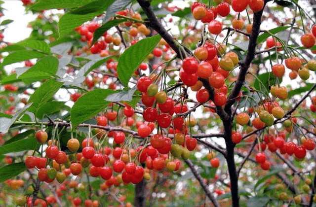 5月份这种水果让种植它的人们, 狠狠赚了一大笔