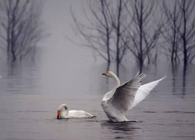 琵琶曲欣赏 天鹅 弹奏 刘德海 旋律优美 体现天鹅的高洁与多姿
