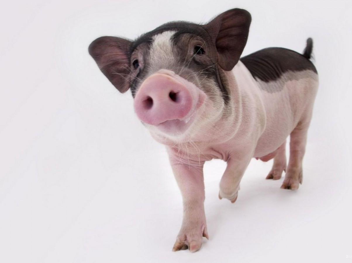 日本猪肉进口量仍持续增长,还在担心猪价不会上涨