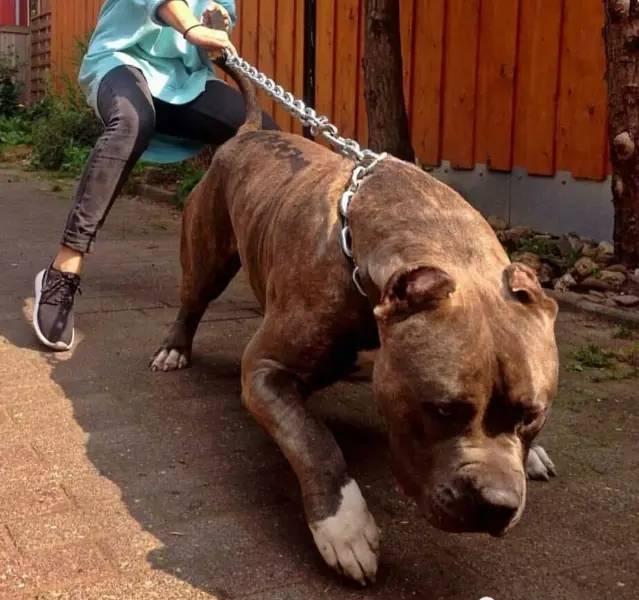 天天要和狗做爱_看到这只满身肌肉的狗,健身10年的我怂了