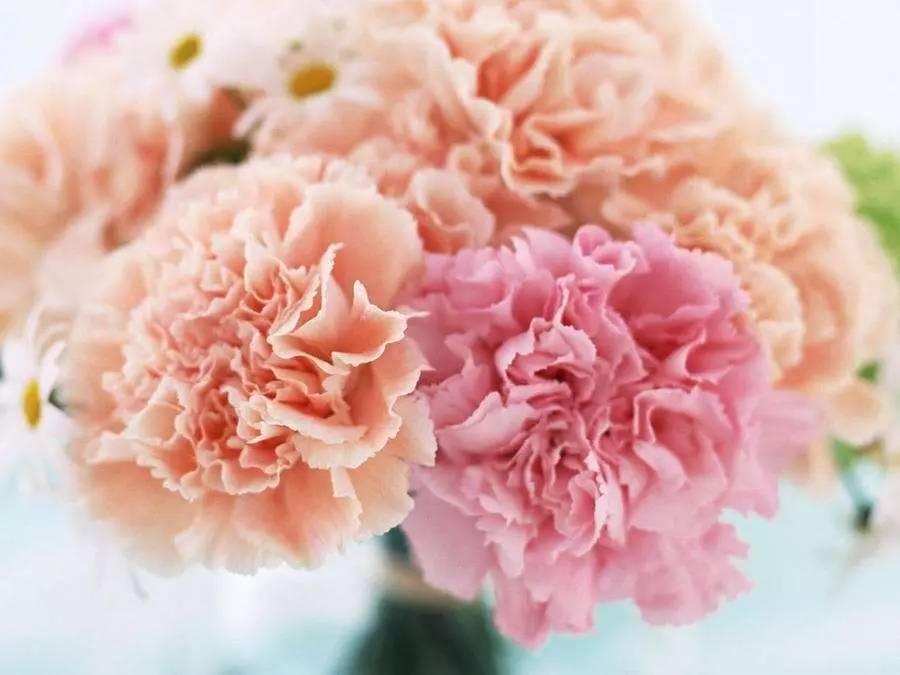 母亲节康乃馨送几朵,母亲节康乃馨送多少朵,母亲节送康乃馨多少支 七丽女性网