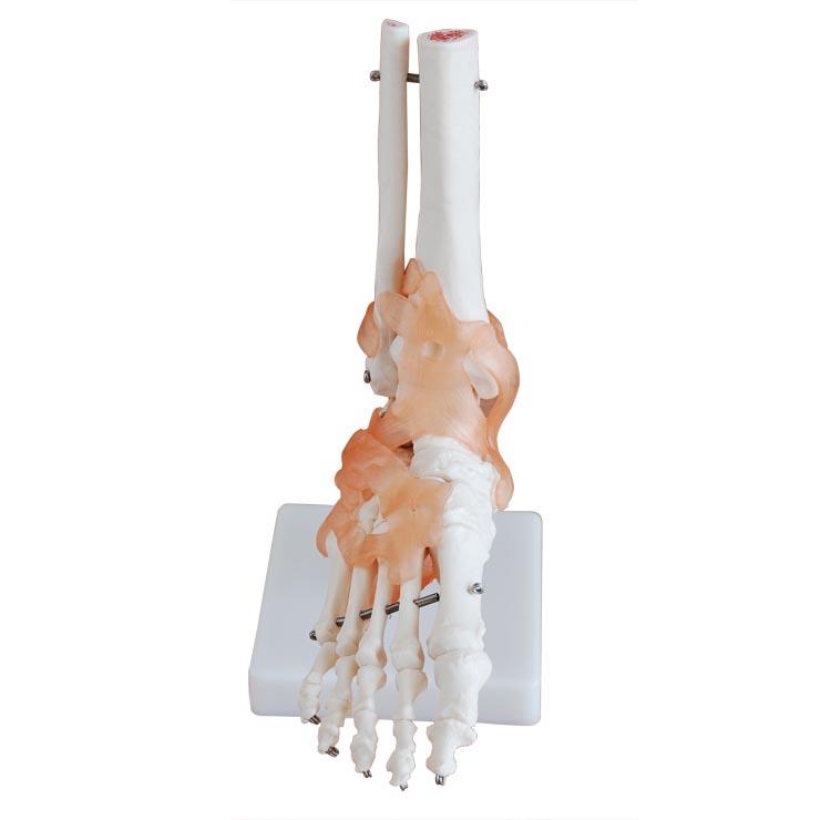 手臂关节图片结构图
