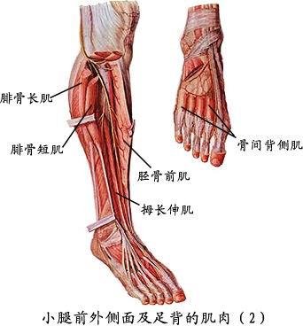 记录1,斜方肌的解剖部位 项部及背上部皮下,一侧为. -人体肌肉解