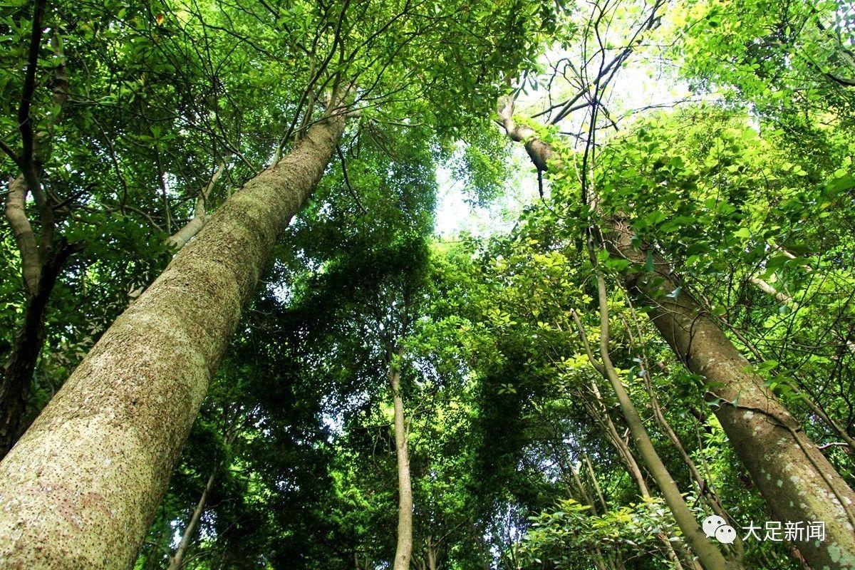 珍贵楠木林