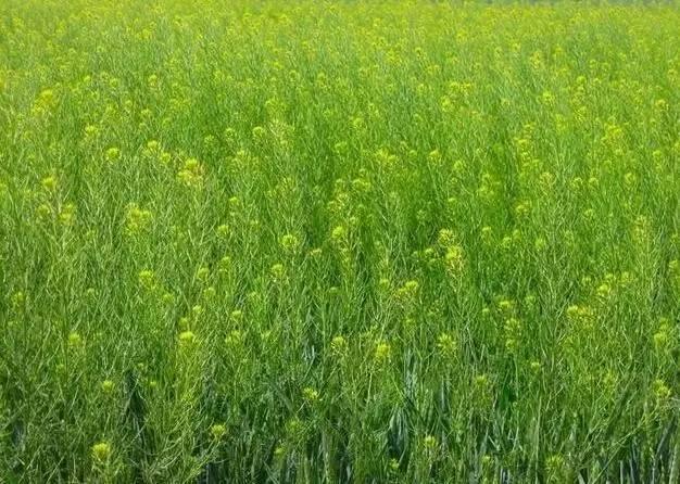 在临潼农村麦地里有一种野菜,即可食用,又可榨油