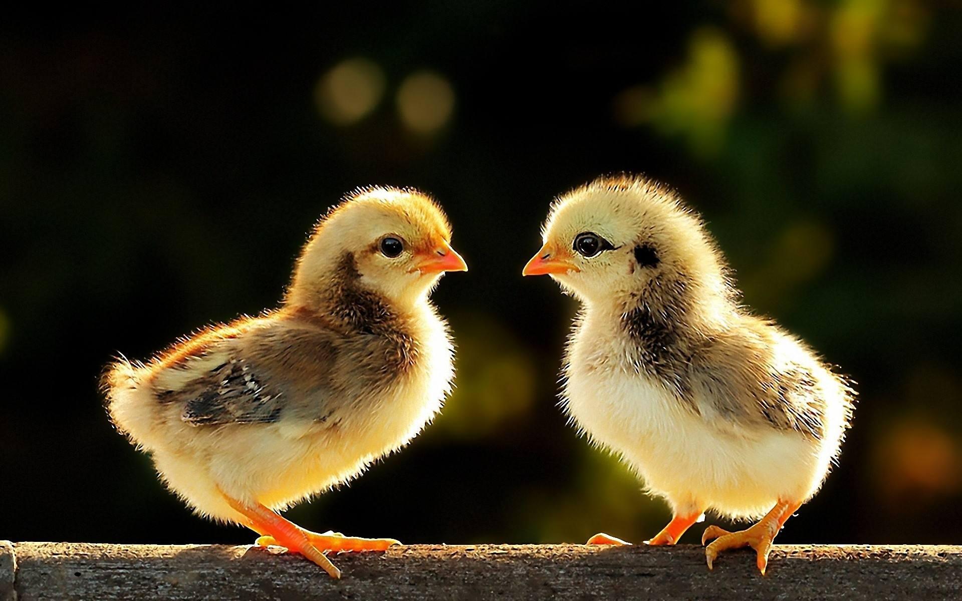 3、9月女鸡与12月男鸡婚配:属相婚配:男属鸡和女属猪相配吗