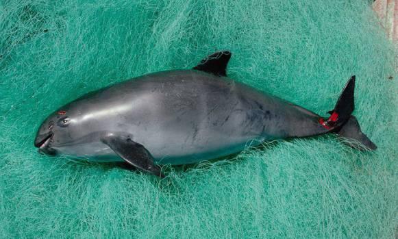 """中国的""""美食传统""""竟让美洲的海豚——黄唇鱼即将灭绝图片?"""