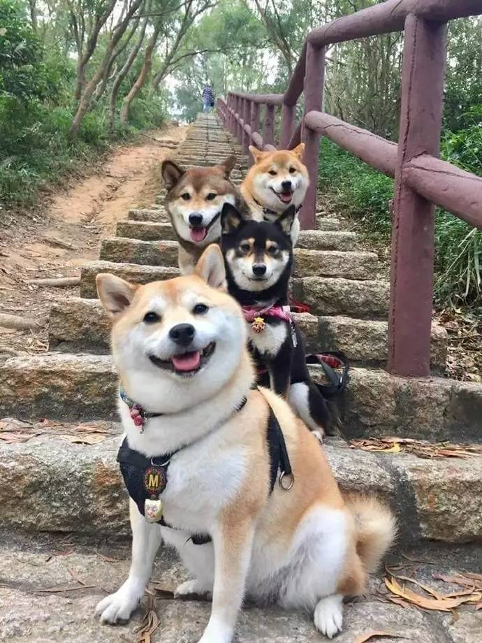 当柴犬跟时候聚在一起的节奏,也是各种摆拍的朋友啊!锐菲高清播放器操作指南图片