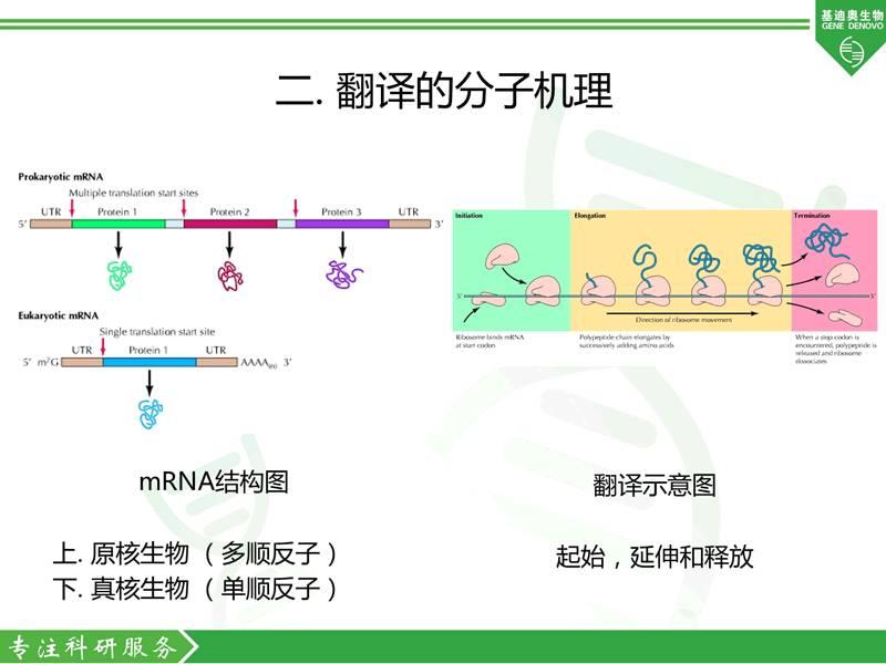 图3 翻译过程简单介绍 四. 环状rna翻译的验证方法图片