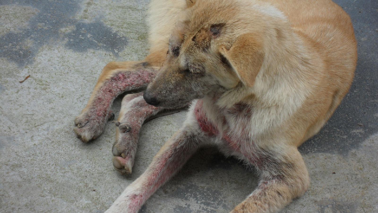 狗狗皮肤病_狗狗得皮肤病怎么治疗,如何预防狗狗患上皮肤病?