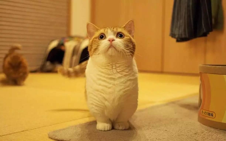 有人说为啥都是叫短腿猫,却还有长腿呢.