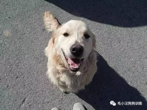 荒野开车被一条金毛拦下,狗子的行为竟然拯救了一条生命