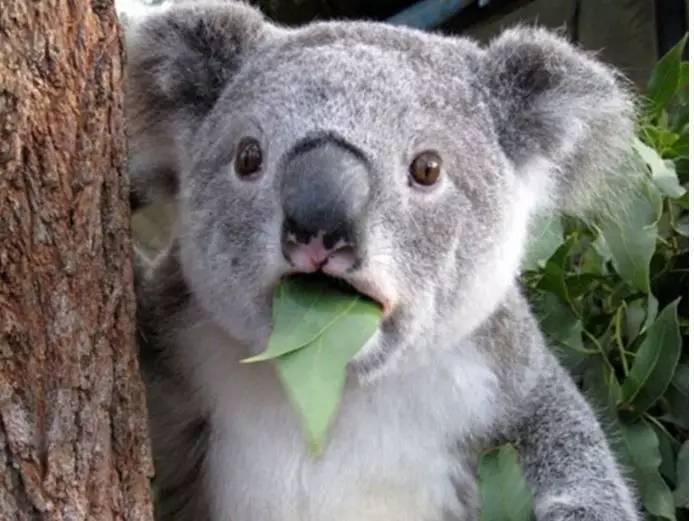 """可爱度堪比熊猫,每年创收200亿的""""国宝"""",竟然濒临灭绝了"""