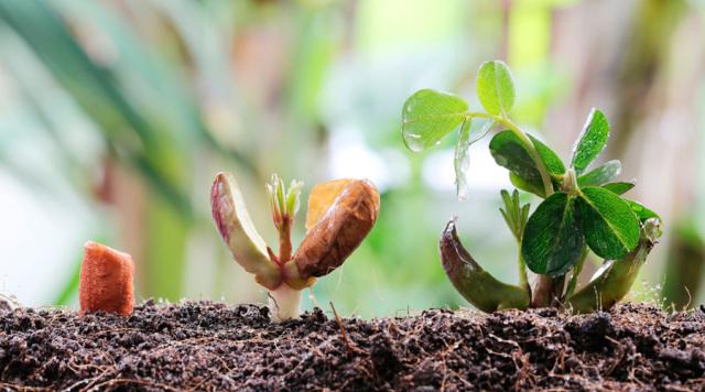 霉菌在生长繁殖的过程中会产生一些毒素,例如甘薯酮,这是红薯发芽可能