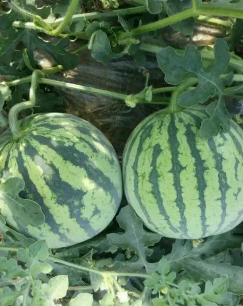 西双版纳的水果,连起来可绕地球一圈